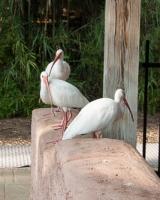 White Eyed Ibis