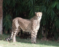 One Cheetah