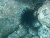 BlackUrchin.jpg