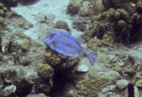 Blue Cowfish Swimming Away