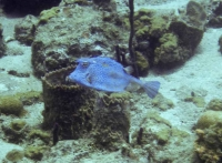 Blue Cowfish from the side